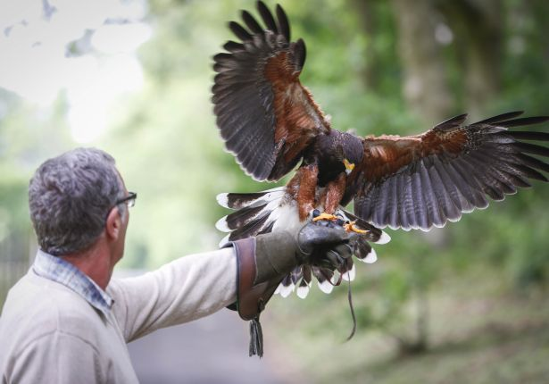 falconry-leeds-castle