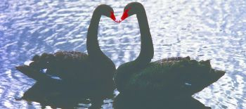 Valentines..Kissing.Swans.Photo.Credit.Leeds.Castle..002 (1)